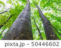 ブナの木々を見上げる 50446602
