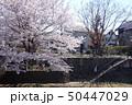 野川の桜(弁天橋西側) 50447029