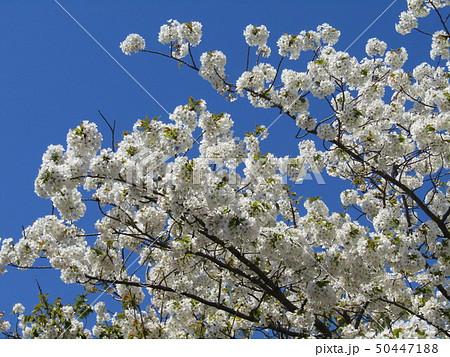 真っ白い大島桜の満開の花 50447188