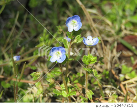 春の野草青色の花オオイヌノフグリ 50447819