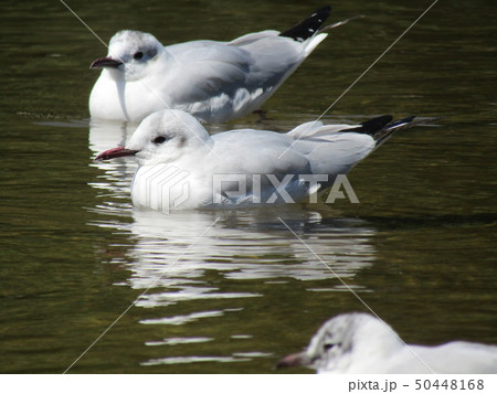 頭の毛が夏毛の黒色に変わりつつ有る冬の渡り鳥ユリカモメ 50448168