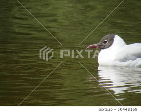 頭の毛が夏毛の黒色になった冬の渡り鳥ユリカモメ 50448169