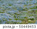 満開のネオフィラ畑 50449453