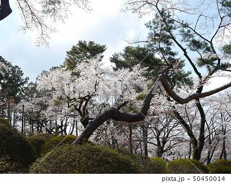 桜の季節の富士森公園 50450014