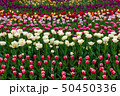 Spring fields of blooming tulip. Beauty outdoor 50450336
