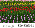 Spring fields of blooming tulip. Beauty outdoor 50450341