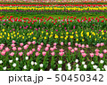 Spring fields of blooming tulip. Beauty outdoor 50450342
