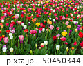 Spring fields of blooming tulip. Beauty outdoor 50450344