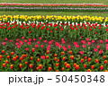 Spring fields of blooming tulip. Beauty outdoor 50450348