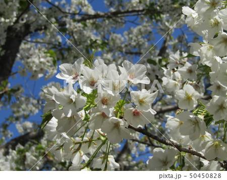 真っ白い大島桜の満開の花 50450828