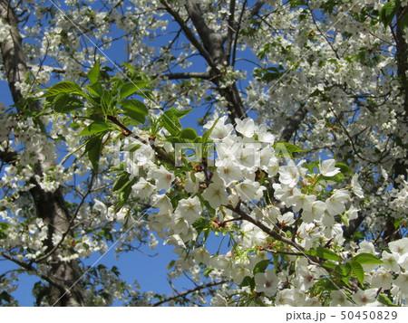 真っ白い山桜の満開の花 50450829