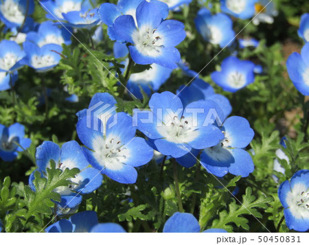 こどもの笑顔のようなネモフィラの青い花 50450831