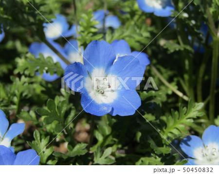 こどもの笑顔のようなネモフィラの青い花 50450832
