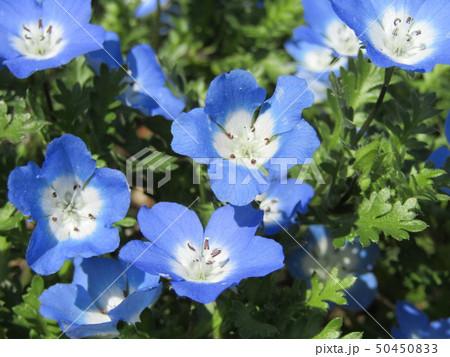 こどもの笑顔のようなネモフィラの青い花 50450833
