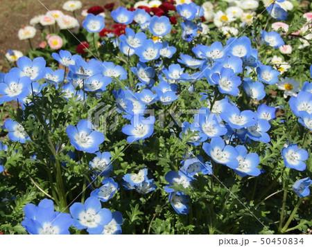 こどもの笑顔のようなネモフィラの青い花 50450834