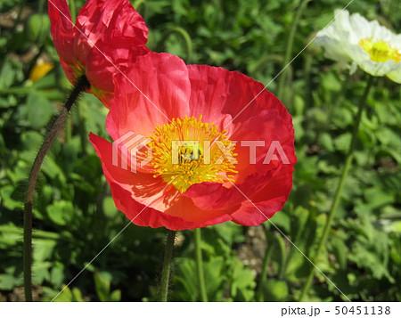 アイスランドポピーの赤色の花 50451138
