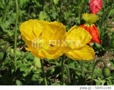 アイスランドポピーの黄色の花 50451140