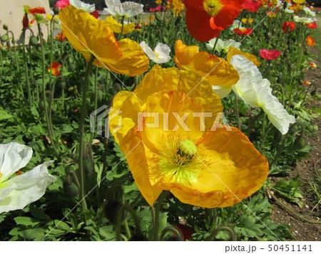 アイスランドポピーのオレンジ色の花 50451141