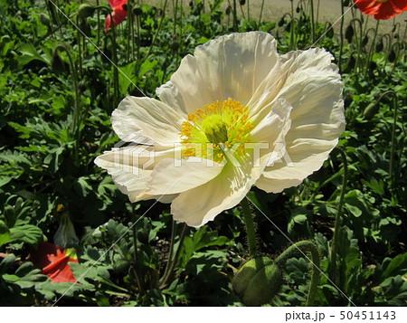 アイスランドポピーの白色の花 50451143