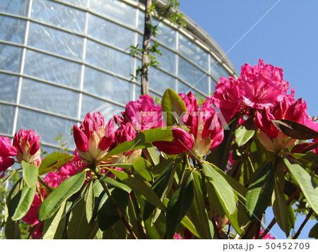シャナゲの豪華な桃色の花  50452709