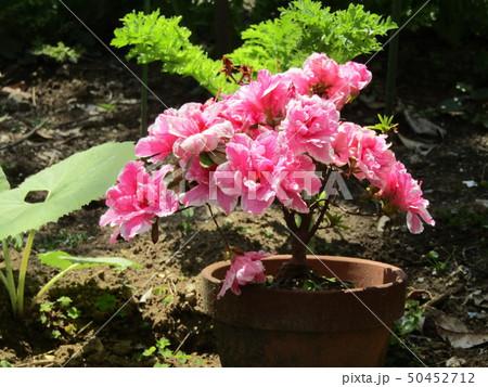 ツツジの改良種アザレアの桃色の花 50452712