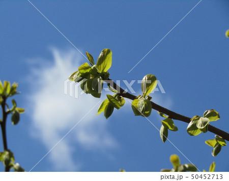 秋には美味しい実をつける柿木の黄緑色の若葉 50452713