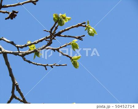 秋には美味しい実をつける柿木の黄緑色の若葉 50452714
