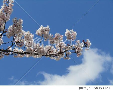 真っ白い大島桜の満開の花 50453121