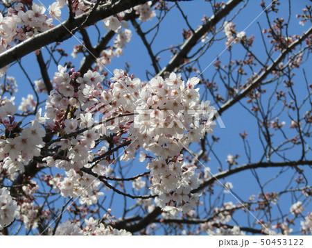 真っ白い大島桜の満開の花 50453122