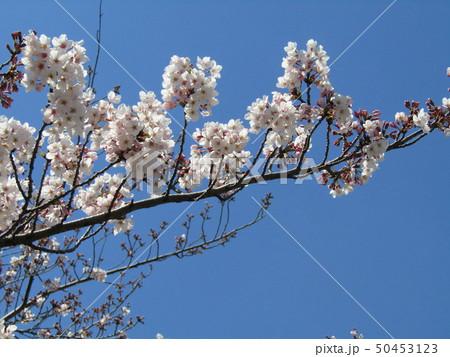 真っ白い大島桜の満開の花 50453123