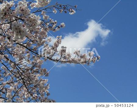 真っ白い大島桜の満開の花 50453124