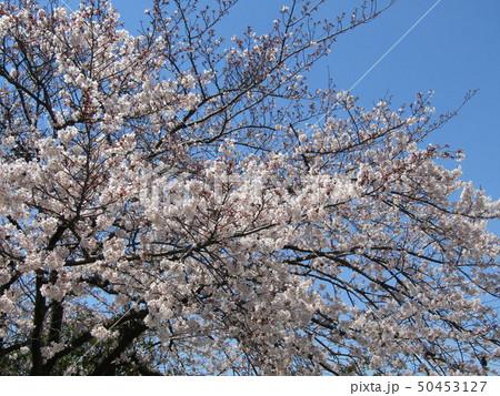 真っ白い大島桜の満開の花 50453127