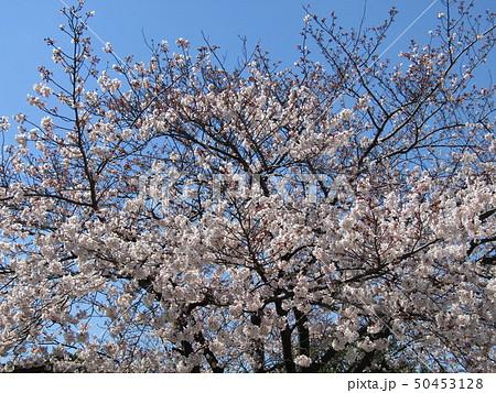 真っ白い大島桜の満開の花 50453128