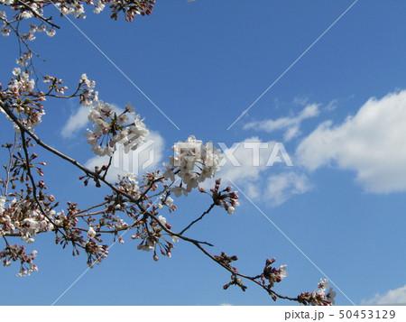 真っ白い大島桜の満開の花 50453129
