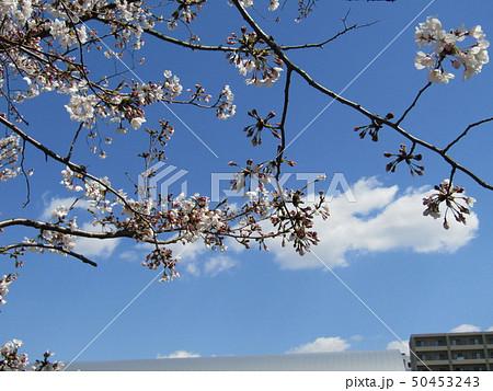 真っ白い五分咲き大島桜のの花 50453243