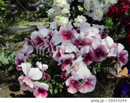 かわいい花期の長いビオラの紫色の花 50453244