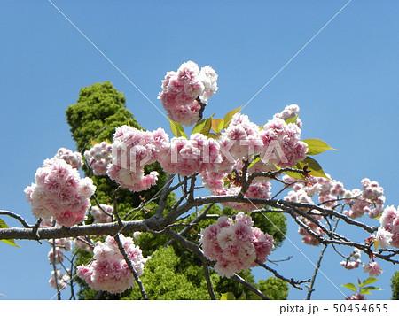 八重の桜は遅咲きのサクラ 50454655