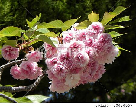 八重の桜は遅咲きのサクラ 50454657