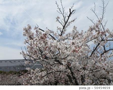 サクラ広場のソメイヨシノが綺麗です 50454659