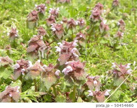 花が踊り子に見えるというヒメオドリコソウの花 50454660