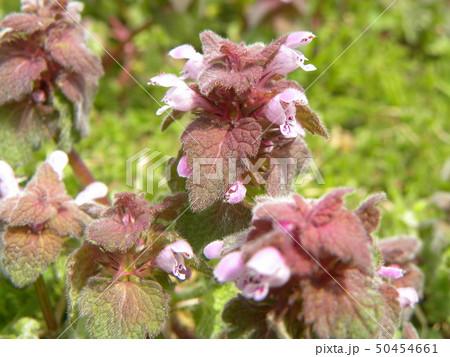 花が踊り子に見えるというヒメオドリコソウの花 50454661