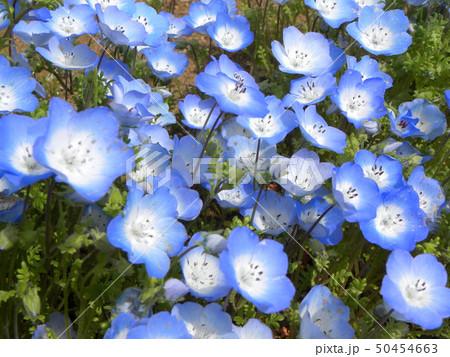 こどもの笑顔のようなネモフィラの青い花 50454663