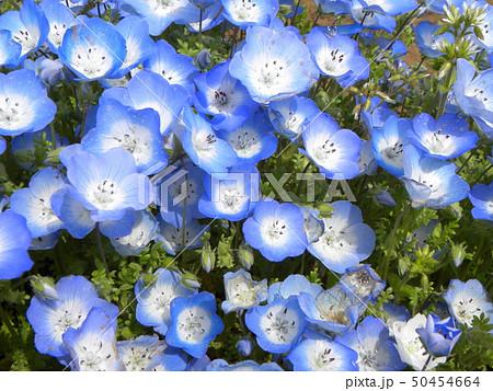 こどもの笑顔のようなネモフィラの青い花 50454664