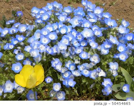 こどもの笑顔のようなネモフィラの青い花 50454665