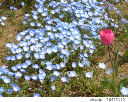 こどもの笑顔のようなネモフィラの青い花 50455190
