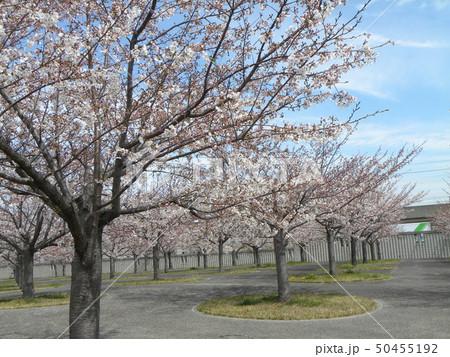 サクラ広場のソメイヨシノが綺麗です 50455192