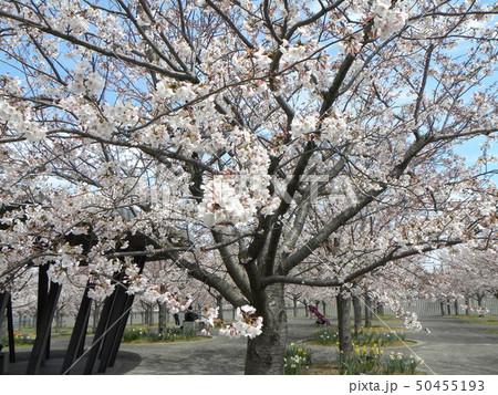サクラ広場のソメイヨシノが綺麗です 50455193