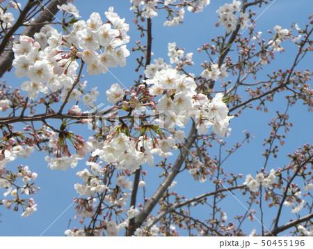 サクラ広場のソメイヨシノが綺麗です 50455196