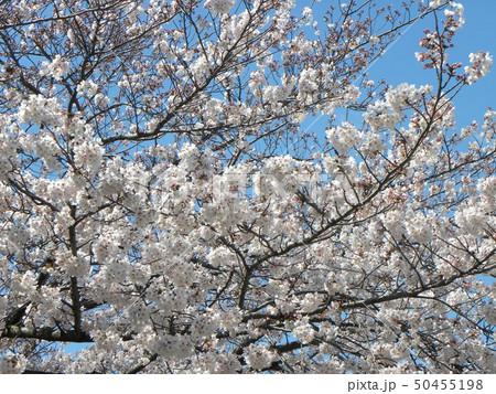 サクラ広場のソメイヨシノが綺麗です 50455198