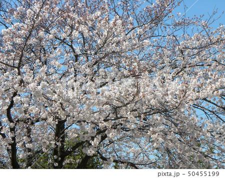 サクラ広場のソメイヨシノが綺麗です 50455199